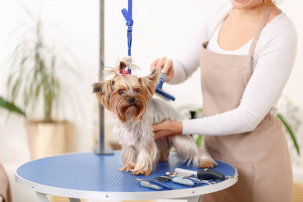 yorkshire terrier is being brushed by groomer - 美容師 個照片及圖片檔