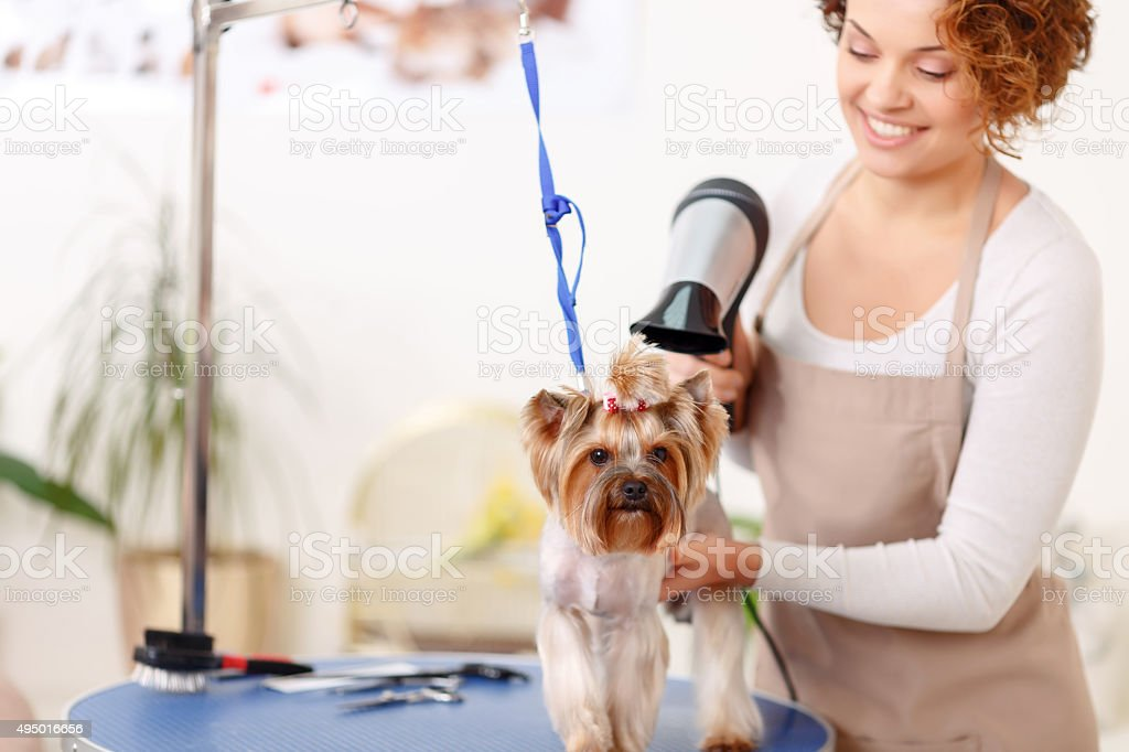 Yorkshire terrier is being finished by hairdryer styling stock photo