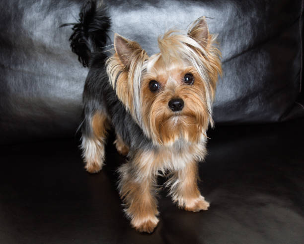 Best Yorkie Haircuts Stock Photos Pictures Royalty Free