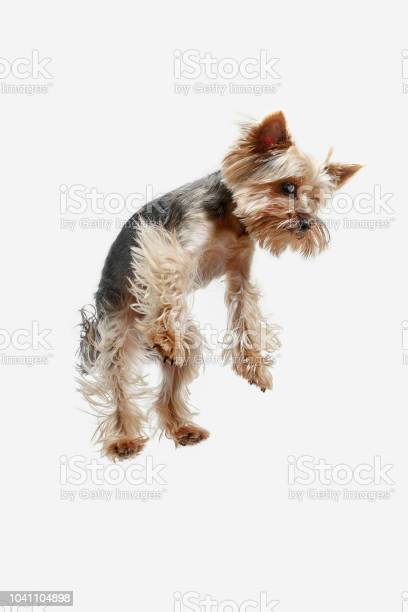 Yorkshire terrier isolated om white background picture id1041104898?b=1&k=6&m=1041104898&s=612x612&h=abvkljdq rbph0smbvcvexmkv4eff7lefieu4dlsmwc=