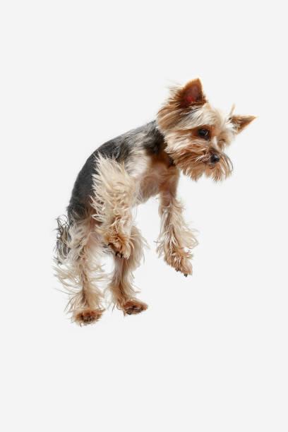 Yorkshire terrier isolated om white background picture id1041104898?b=1&k=6&m=1041104898&s=612x612&w=0&h=zqa9ojyyz67sia7x9nbnnkpxp9pc7 fbmpuofascwme=