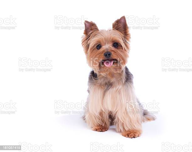 Yorkshire terrier isolated on white picture id181057415?b=1&k=6&m=181057415&s=612x612&h=l3uipxolt2c3jm8i7rt9 xzigjesirswdtpobxor ky=