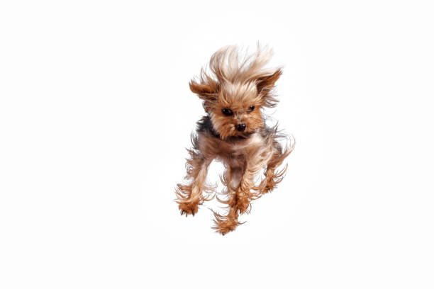 Yorkshire terrier jumping against a white background picture id1043546834?b=1&k=6&m=1043546834&s=612x612&w=0&h=bx92hp6kgnphciv3dzh44fgwxms3n2xb2amgg9 95bc=