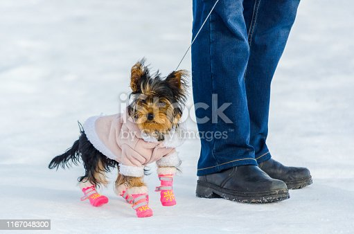 Yorkshire Terrier little dog and its owner, snow winter background. Small, cute doggy in suit with pink boots. Copy space