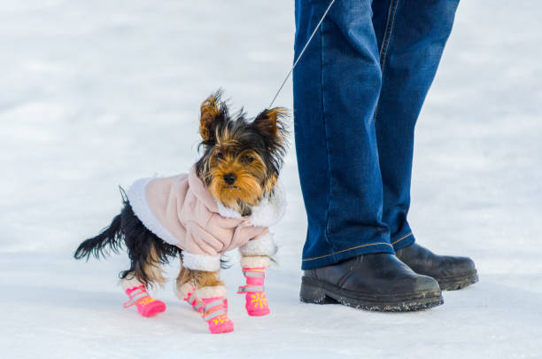 Yorkshire terrier little dog and its owner snow winter background picture id1167048300?b=1&k=6&m=1167048300&s=612x612&w=0&h=a6jmued4fxmeeu8zpk bradzg9y k4afl5z6yqtq3do=