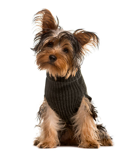 Yorkshire terrier looking at the camera isolated on white picture id514375346?b=1&k=6&m=514375346&s=612x612&w=0&h=gaof73i89wydgkhagxlry6prayuob32hdupjdyxvwvi=