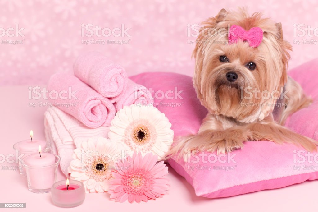 Yorkshire terrier lying on pillows at the grooming salon spa stock photo