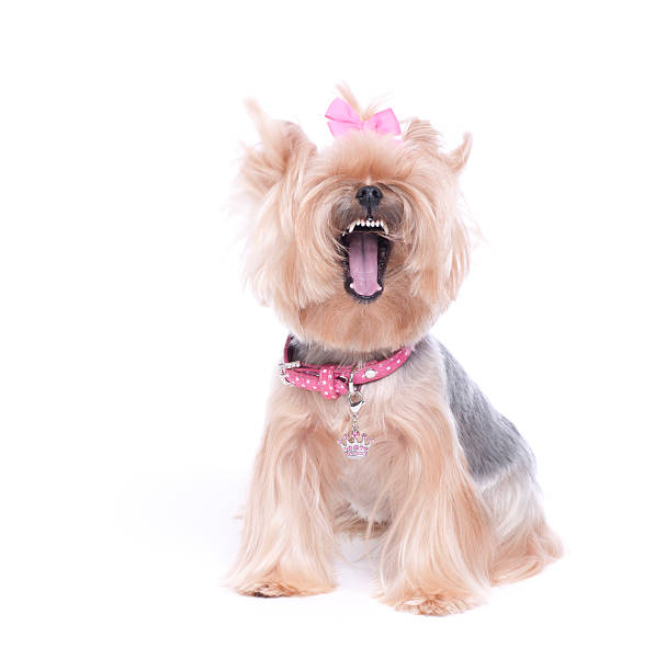 Yorkshire Terrier making a funny face stock photo