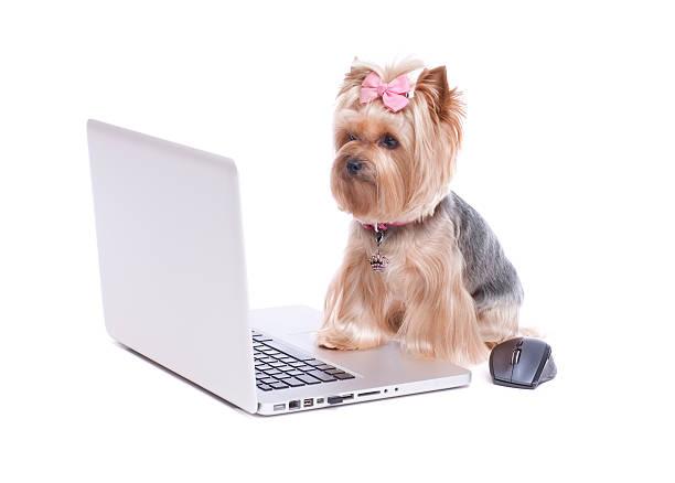 Yorkshire terrier on a laptop computer picture id186576052?b=1&k=6&m=186576052&s=612x612&w=0&h=es ihrsxgg5utnxdpbol s1bonyjf8fddabjvhiqwyq=