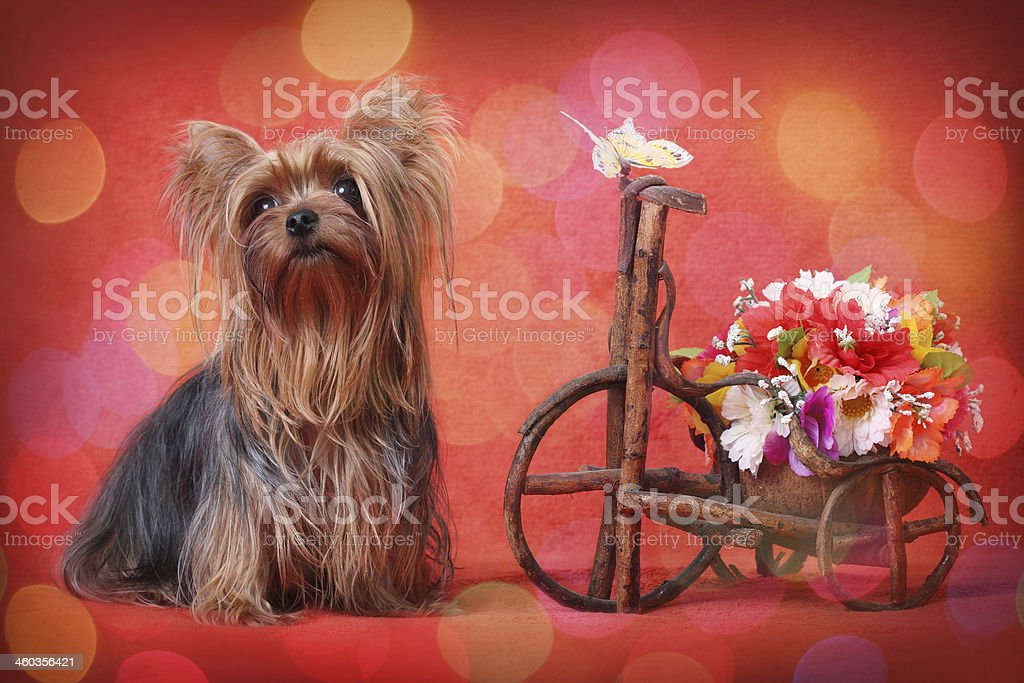 Yorkshire Terrier  on red background stock photo