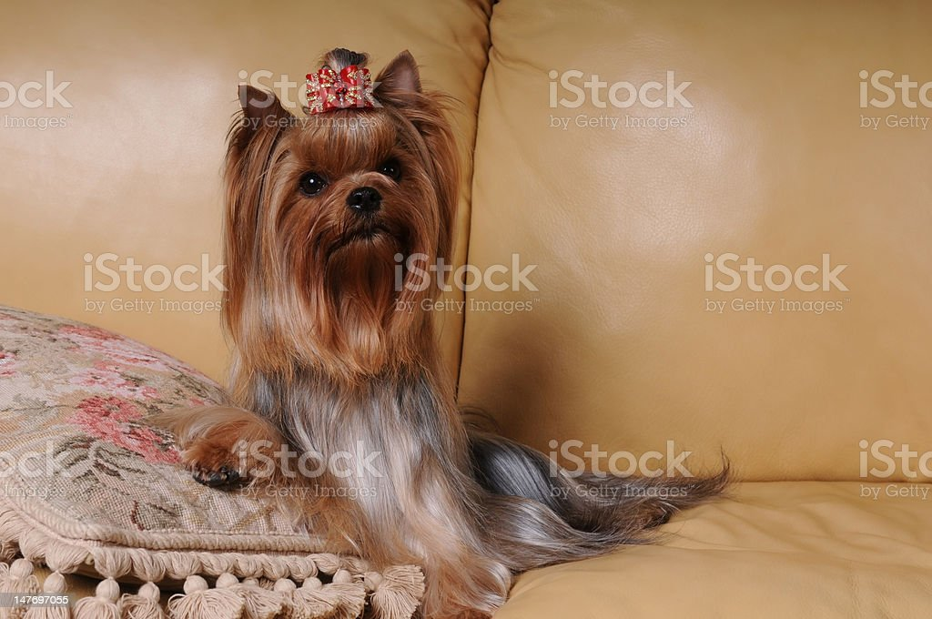 Yorkshire terrier on the cushion royalty-free stock photo