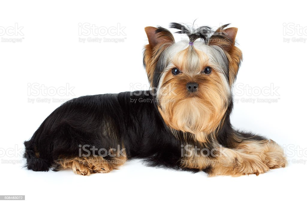 Yorkshire Terrier on white stock photo
