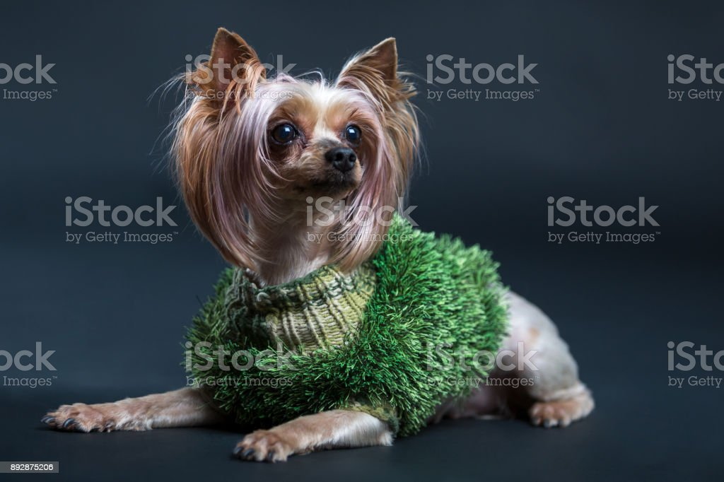 Yorkshire Terrier. Photo of a little beautiful dog on a black background stock photo