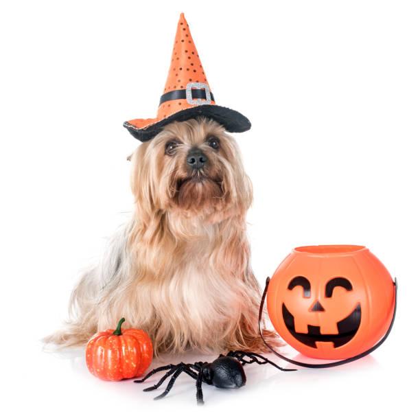 yorkshire terrier - hund spinnenkostüm stock-fotos und bilder