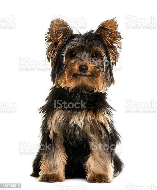 Yorkshire terrier picture id483796512?b=1&k=6&m=483796512&s=612x612&h=7iolvsbfzogbb62ziiulqcxdpdtheygiuwzhclcmeeq=