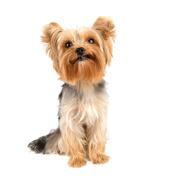 Yorkshire terrier picture id486692302?b=1&k=6&m=486692302&s=612x612&w=0&h=rzwyrr g9fjyvm5kekoxerpa7yc5takjdh rqdxhdrk=