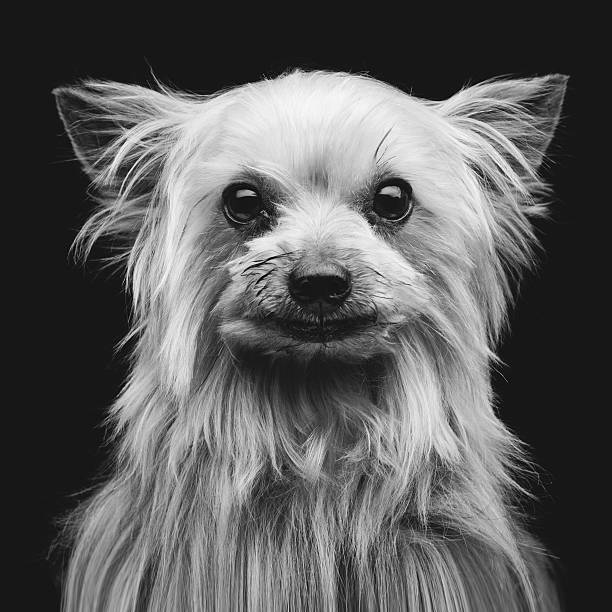 Yorkshire terrier – zdjęcie