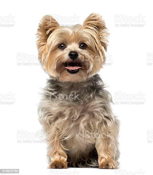Yorkshire terrier picture id516920780?b=1&k=6&m=516920780&s=612x612&h=r9rzfdxjrqfymtsndr39bdhosmpxmuto1q8wzutc ji=