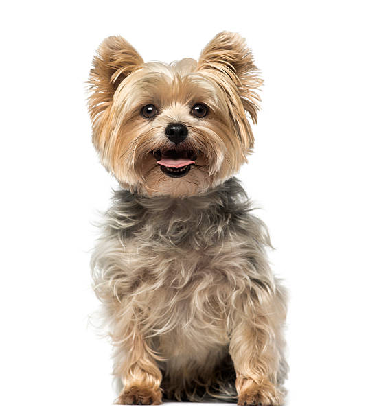 Yorkshire terrier picture id516920780?b=1&k=6&m=516920780&s=612x612&w=0&h=p1colnp i0qkgbqfxfuoxauuhcnrgjfsstxziw1pw0a=