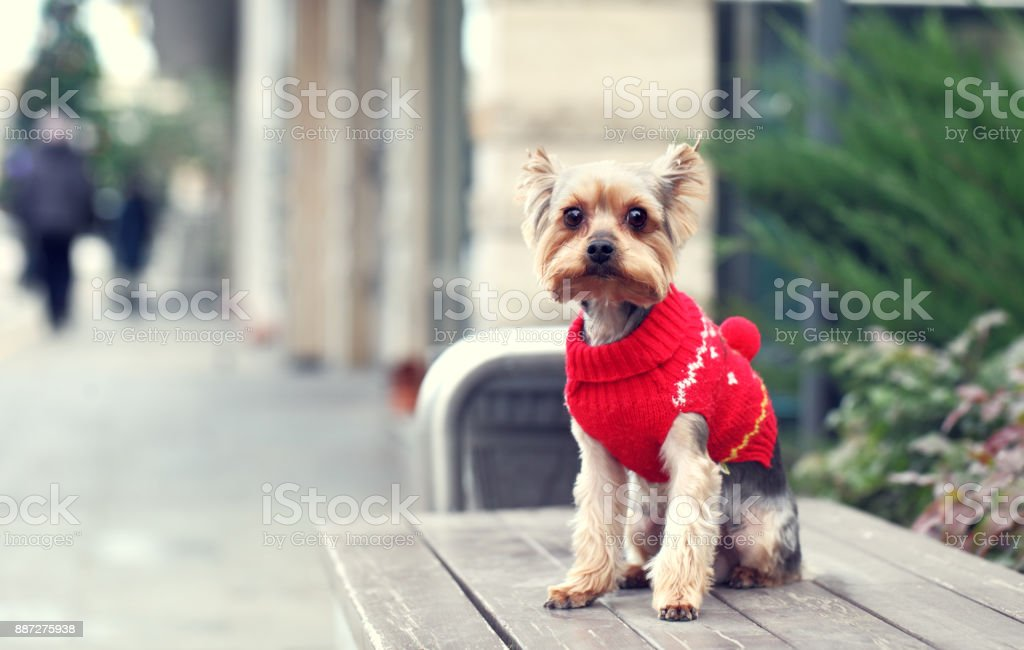 Yorkshire Terrier – Foto