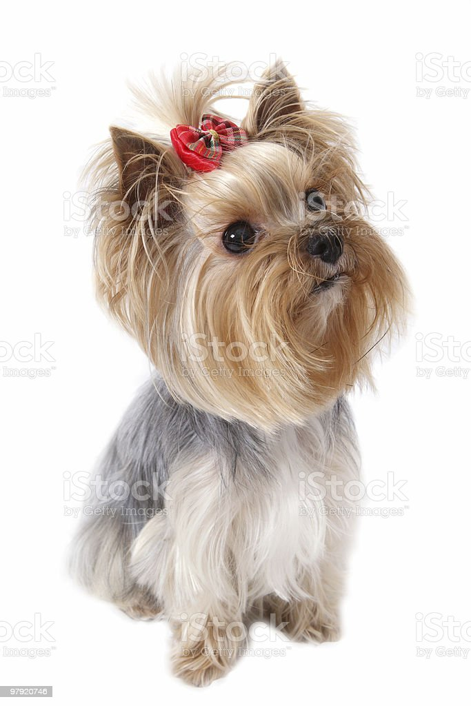 yorkshire terrier royalty-free stock photo