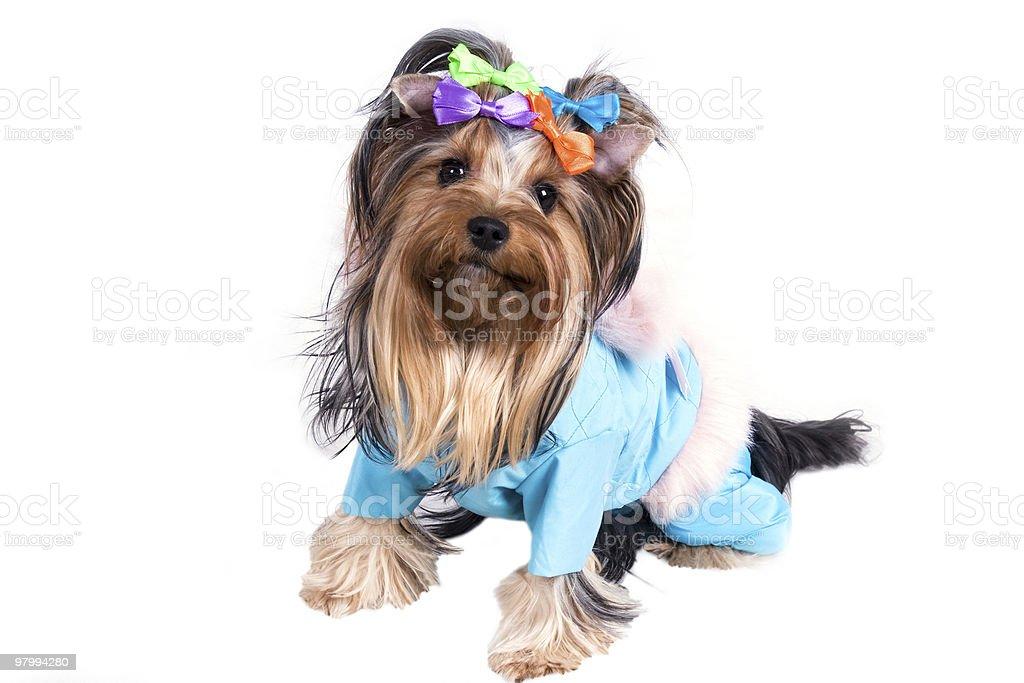 yorkshire terrier royalty free stockfoto