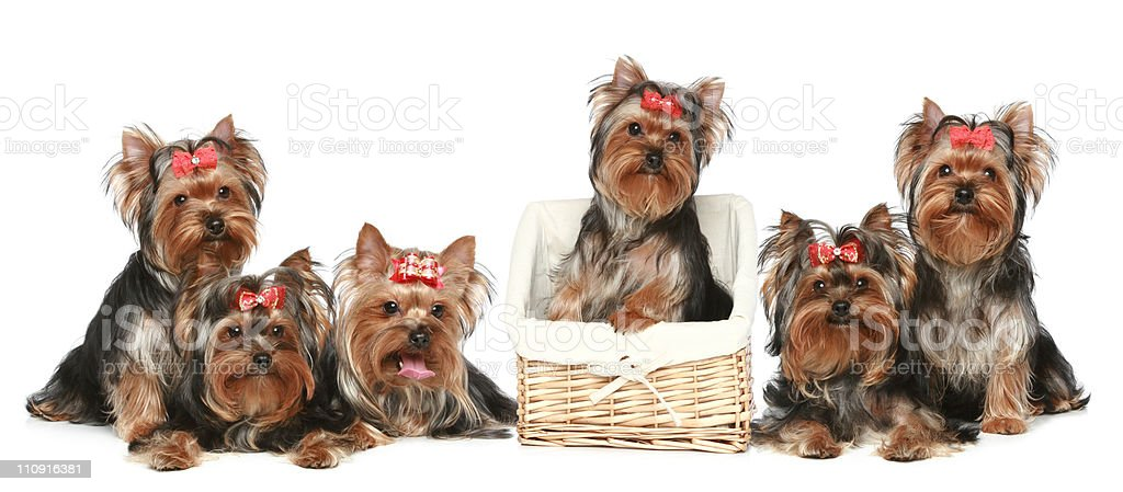 Yorkshire Terrier puppies, group posing on a white background stock photo