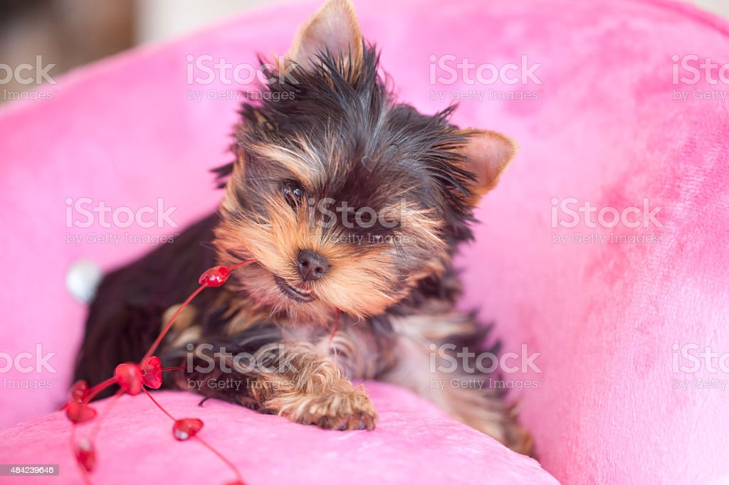 Yorkshire Terrier Puppy Dog for Valentine's Day stock photo