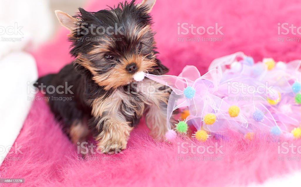 Yorkshire Terrier Puppy Dog on Pink Blanket with a Toy stock photo