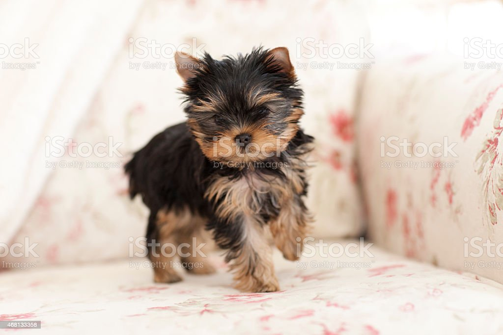 Yorkshire Terrier Puppy Dog Standing on a Vintage Floral Sofa stock photo