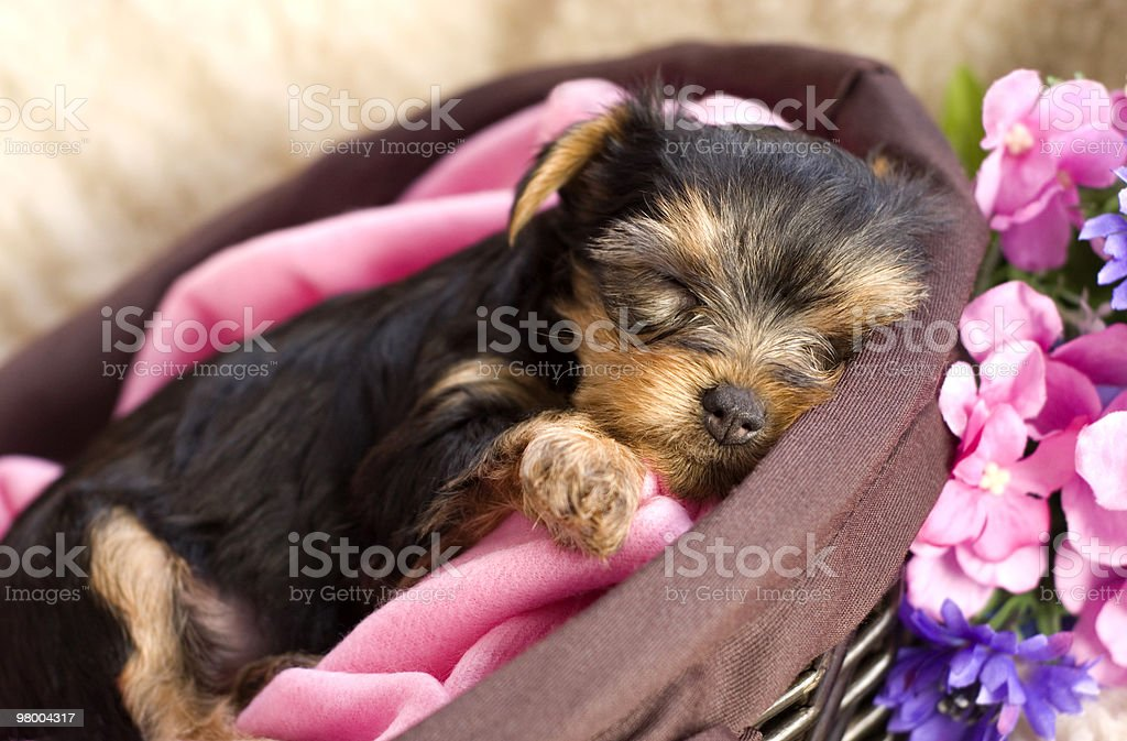 Yorkshire Terrier Puppy in a Basket Sleeping royalty-free stock photo