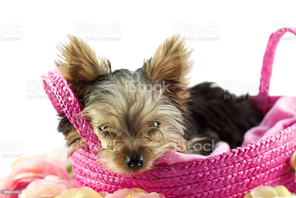 Yorkshire Terrier Puppy in Basket royalty-free stock photo