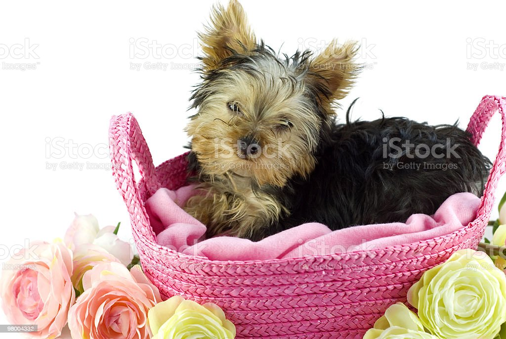 Yorkshire Terrier Puppy in Pink Basket royalty free stockfoto