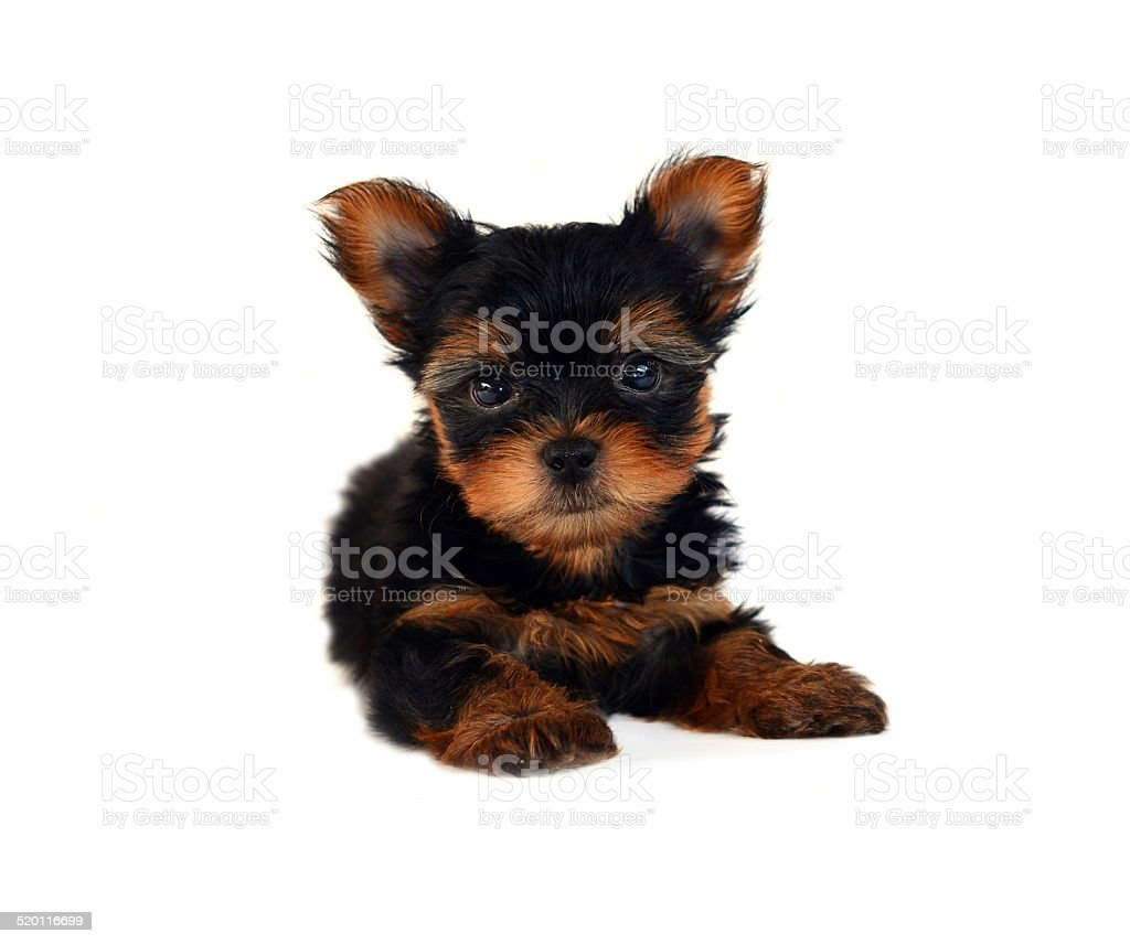 yorkshire terrier puppy  isolated on white stock photo