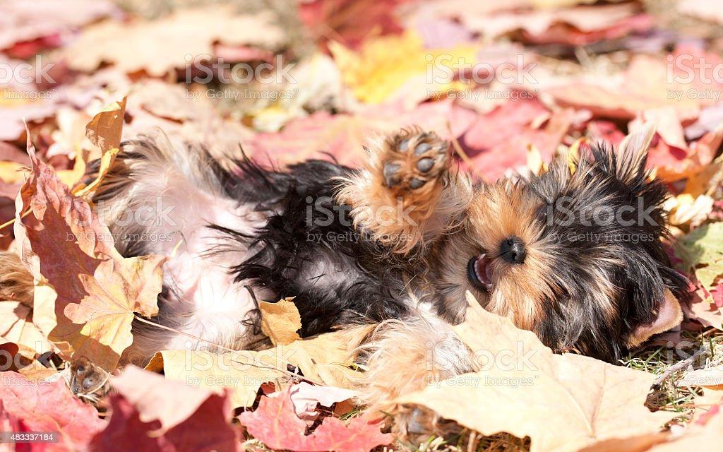 Resultado de imagen para yorkie autumn