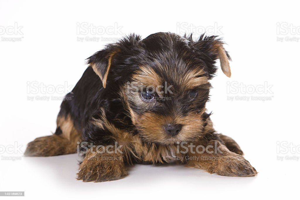 Yorkshire Terrier Puppy On A White Background Stock Photo Download Image Now Istock
