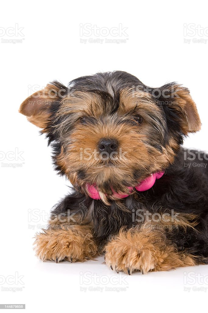 Yorkshire Terrier (Yorkie) puppy royalty-free stock photo