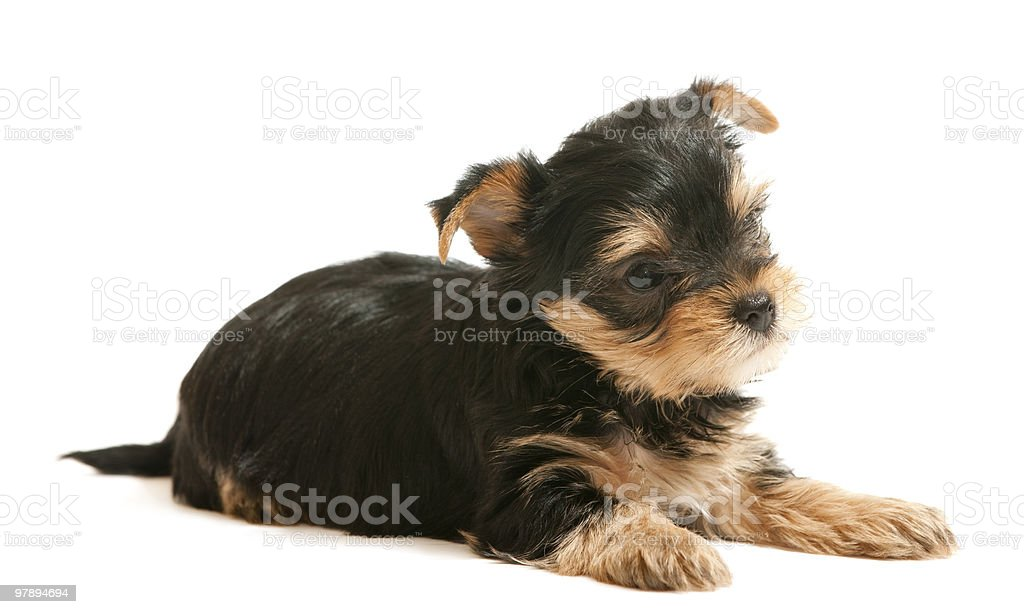 Yorkshire terrier puppy royalty-free stock photo