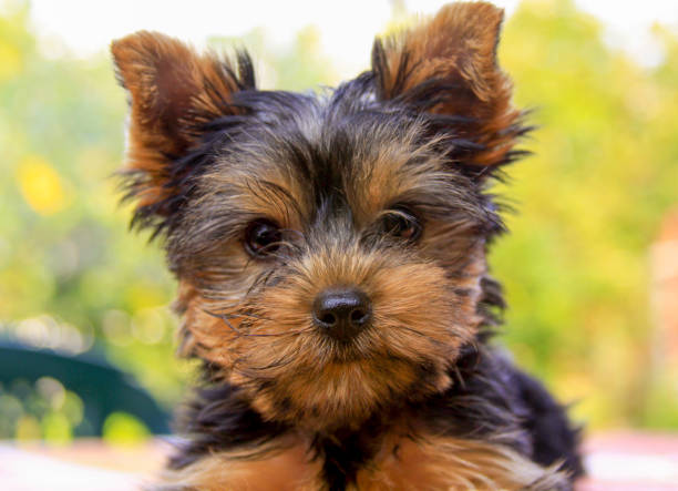 Yorkshire terrier puppy portrait sitting outside stock photo