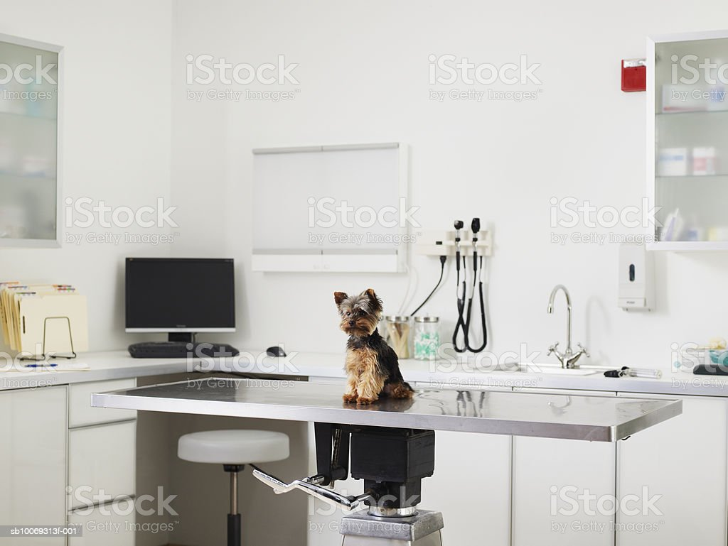 Yorkshire terrier puppy sitting on exam table in veterinarian exam room royalty-free stock photo
