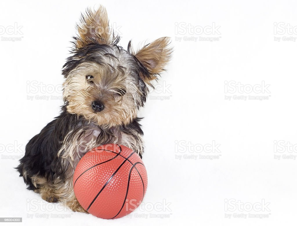 Yorkshire Terrier Puppy with Basketball royalty-free stock photo
