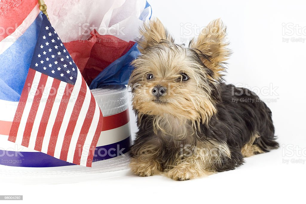 Yorkshire Terrier Puppy with Patriotic Theme royalty-free stock photo