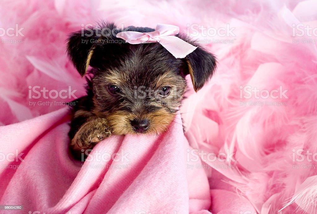 Yorkshire Terrier Puppy with Pink Background royalty free stockfoto
