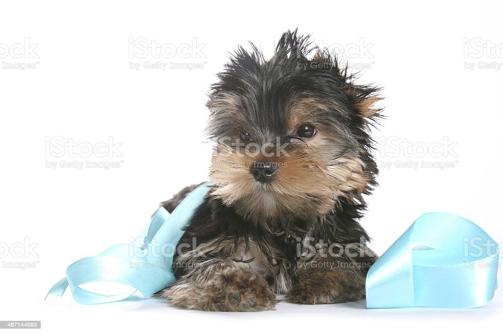 Yorkshire Terrier Puppy with ribbon horizontal looking right royalty-free stock photo