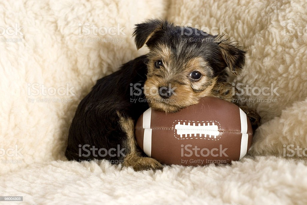 Yorkshire Terrier Puppy with Toy Football royalty-free stock photo