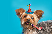 a close up of a Yorkshire Terrier on a blue background with a party hat on and a party blower in his mouth.