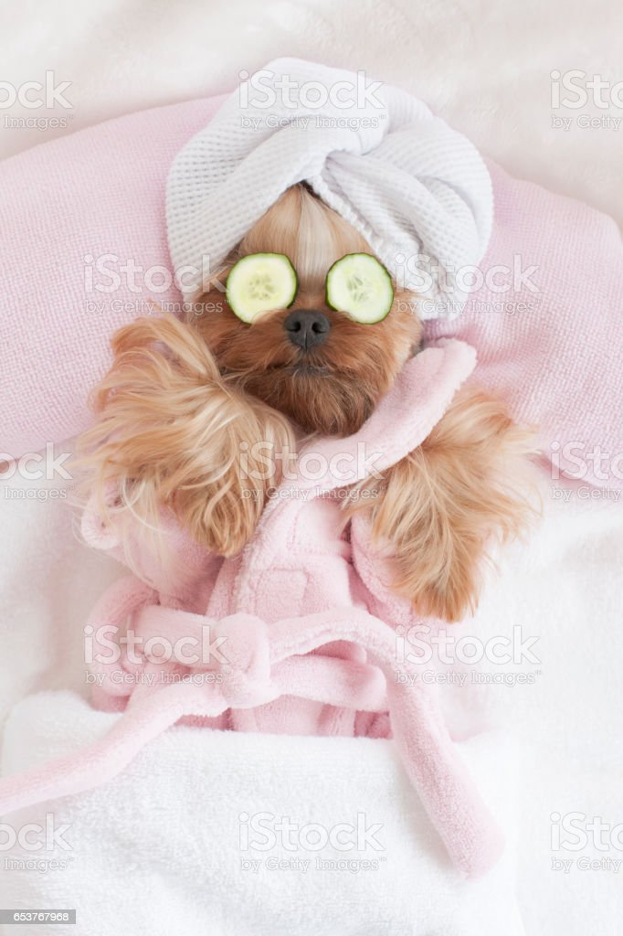 Yorkshire Terrier Relaxing at the Dog Grooming Spa stock photo