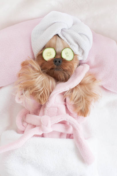 yorkshire terrier relaxing at the dog grooming spa - animal health stock photos and pictures