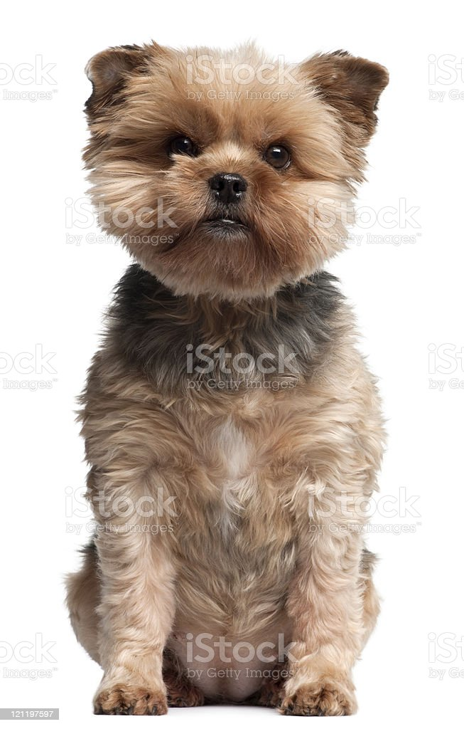 Yorkshire Terrier, seven years old, sitting, white background. royalty-free stock photo