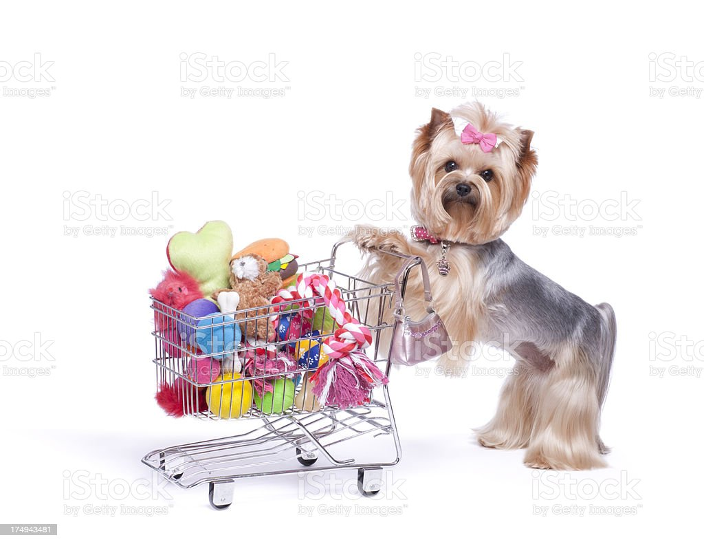 Yorkshire Terrier Shopping for Toys royalty-free stock photo
